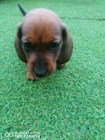 Mini dachshund girl for sale