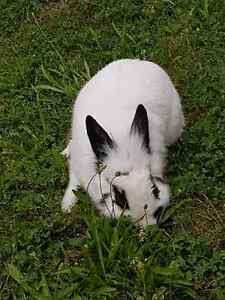 Rabbit for free to a good home