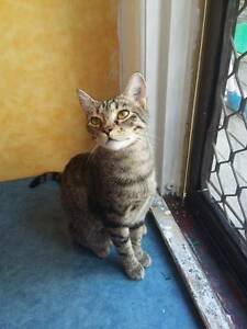Tilly - KITTEN KAPERS RESCUE Cleveland Redland Area Preview