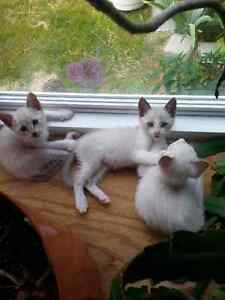 Siamese Kittens w/ snowshoe and lynx points