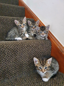 Tabby Kittens In England Cats Kittens For Sale Gumtree