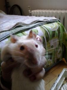 Ratte de 6 mois hyper affectueuse