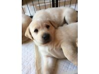 KC-Golden Labrador puppy's for sale