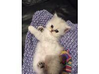 1 gorgeous pure white chinchilla Persian kitten!