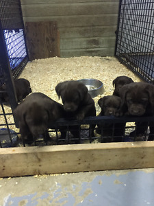 2 female and  1 male chocolate lab puppies