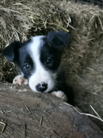 4 lovely collie pups