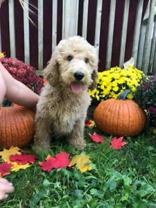 1 Male Standard Poodle Puppy