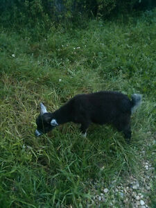 Male Pygmy Goat for Sale! Reduced!