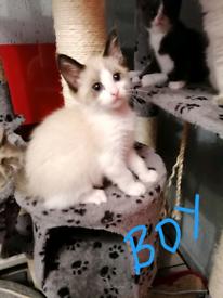 Last 2 beautiful Ragdoll kittens available NOW