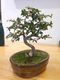 Bonsai Tree (Chinese elm), 15 years old