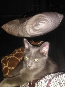 Missing little/grey Kitty (Female)