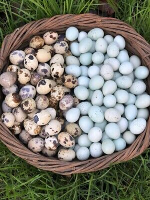 60 Mixed 30 Coturnix Quail And 30 Celadon Hatching Eggs - Assorted Rare Colors
