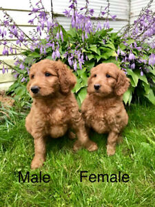 Labradoodle | Kijiji in Ontario  - Buy, Sell & Save with