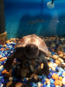 """Male Reeves Turtle - 3 years old 4-5"""" for sale"""