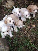 Cocker spaniel / shihtzu x puppies