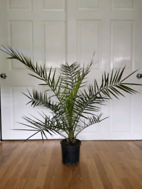 Phoenix palm tree evergreen plant for indoor/outdoor