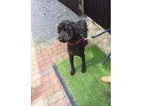 Lovely labradoodle