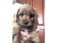 Teddybear cavapoo pup