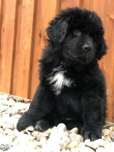 Only 1 Newfoundland Puppy left!!