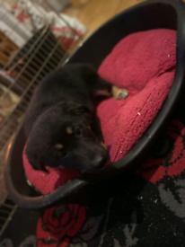 **German shepherd pups for sale **