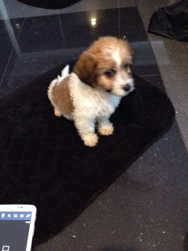 Bichon Frise Cross Yorkshire Terrier Pup For Sale In Swindon