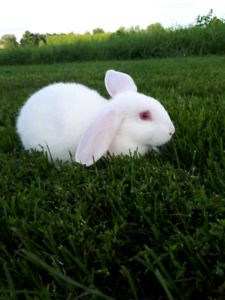baby bunnies for sale kijiji in ontario buy sell save with
