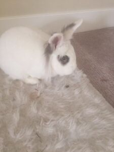 Bunny for sale-$40