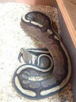 Canadian exotics available ball pythons