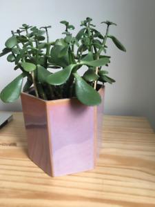 Ceramic, glazed plant pot & jade plant