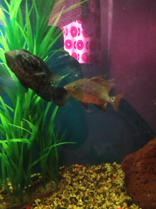 Red terror American cichlid Campbelltown Campbelltown Area Preview