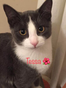 Tessa, Grey and White Kitty, for Adoption with KLAWS