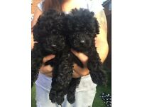 2 gorgeous pure toy poodle pups