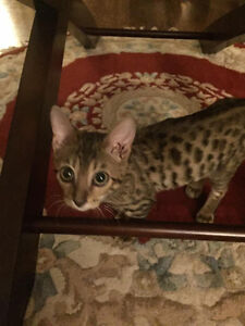 Bengal Male Kitten foundation 5 stunning spotted