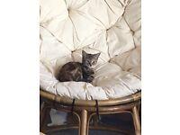 (Tabby Kittens for sale )