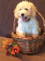 F2b Goldendoodle pups. Golden. Creams. Low shed/allergy