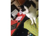 Cute little lovable male KITTEN LEO (name ) needs good loving home plz contact