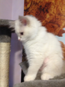 TICA Blue Bi colour RAGDOLL     Spayed and Ready to go Today)