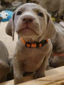 Kc reg, health tested Weimaraner pups
