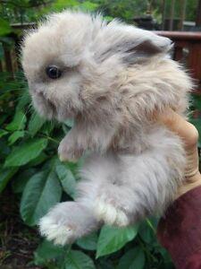 Angora X Lion Head bunnies