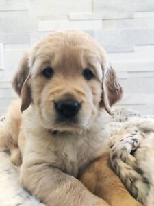 GOLDEN RETRIEVER PUPPIES - PUREBRED