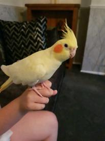 latino male cockatiel