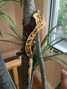 Breeding pair of crested geckos with enclosure