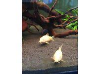 Albino corydoras x3