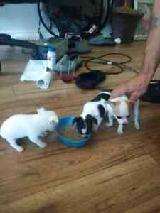 chihuahua puppies for sale UPDATED
