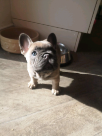 Stunning french bulldog pup