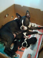 boston terrier a reserver reste 1 male a reserve