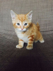 Beautiful Siberian mix kittens for sale
