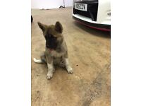 Full Japanese Akita Puppy - Female, 11 Weeks Old, Microchipped, Vaccinated Etc!