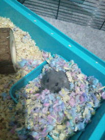 Beautiful Russian hamster and cage