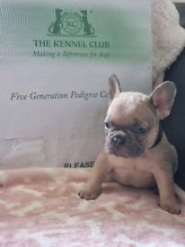 Top quality french bulldog ready to leave for their forever home